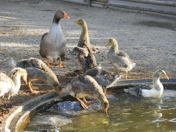 Die Jungtiere genießen das Wasser.