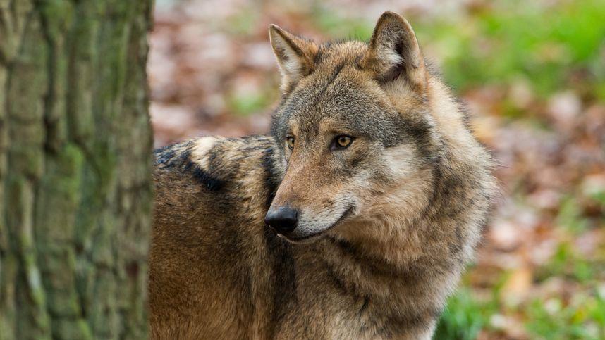 """Wolf 118MATK erneut nachgewiesen: """"Jetzt ist dann die Jagd am Zug"""""""
