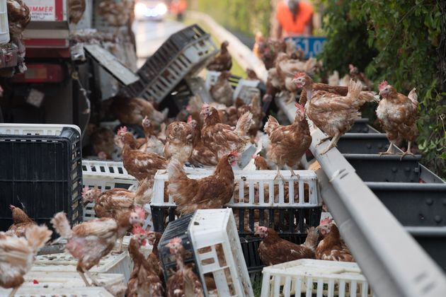 Aufgeschreckte Hühner, die überlebt hatten, liefen auf der Autobahn herum.