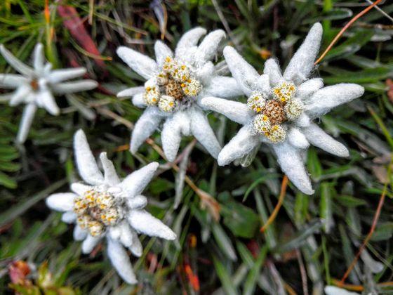 Edelweiß. Das in Tirol geschützte Edelweiß wird bis zu 20cm hoch und blüht von Juni bis September. Im Kalkgestein zwischen 1600m und 3000m Seehöhe kann man es finden.